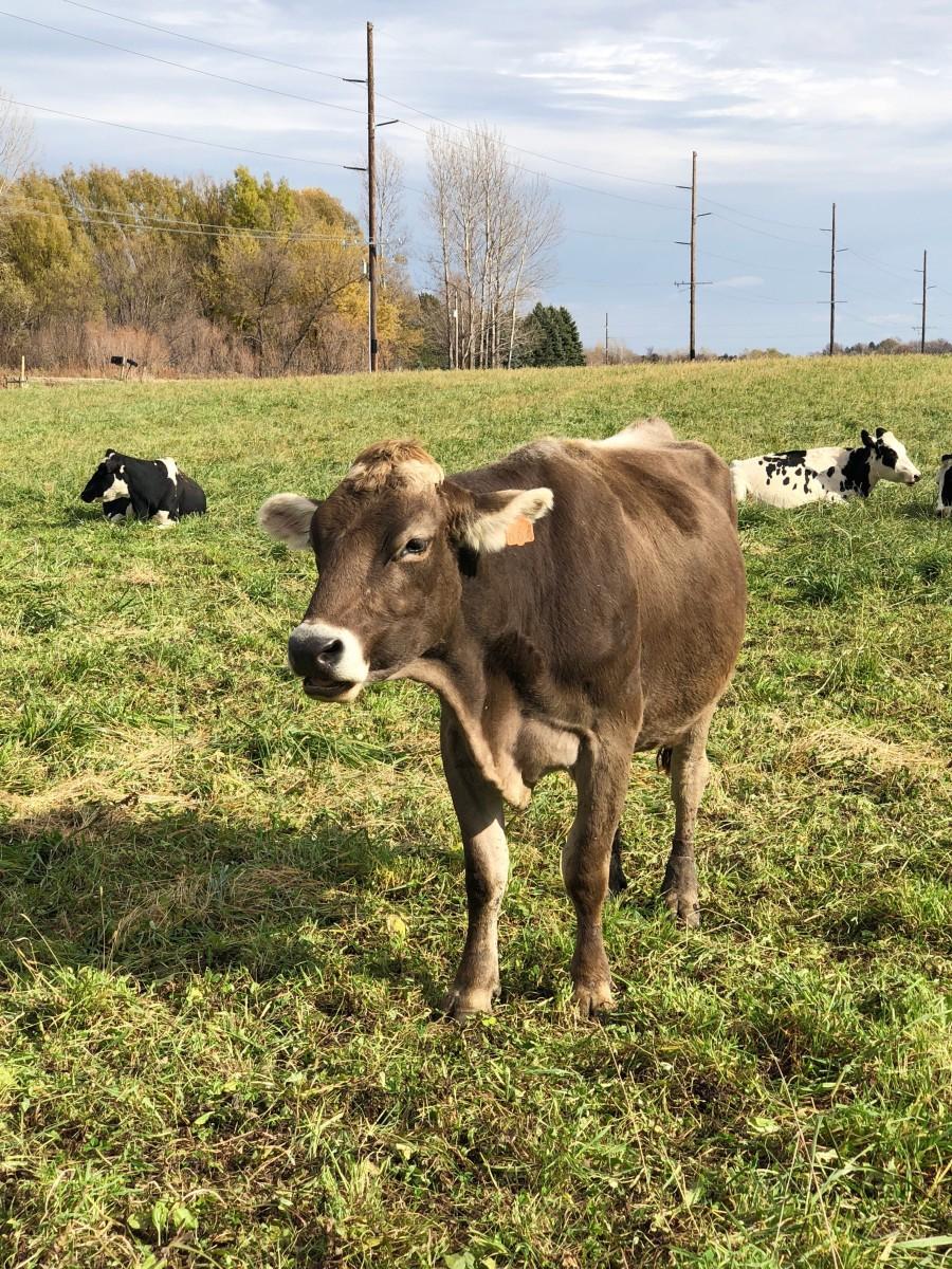 Organic Dairy Cow Minnesota - Her Heartland Soul