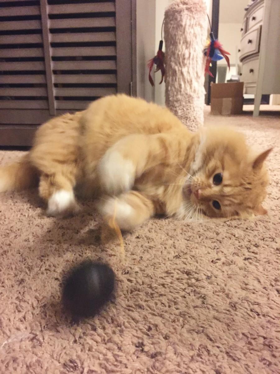 Punkin Fluffy Red Cat Her Heartland Soul
