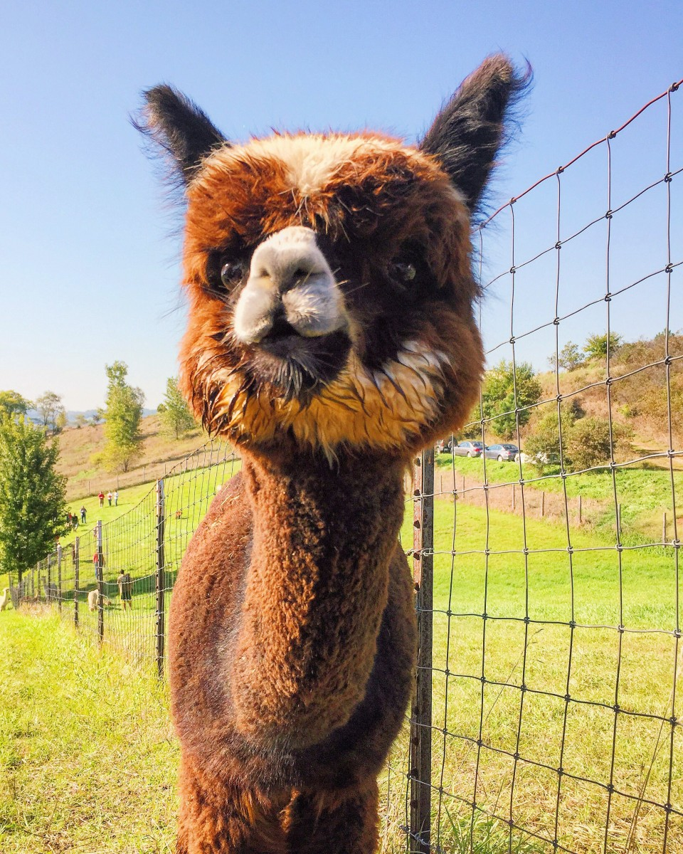Alpacas of the Heartland Omaha Nebraska Her Heartland Soul