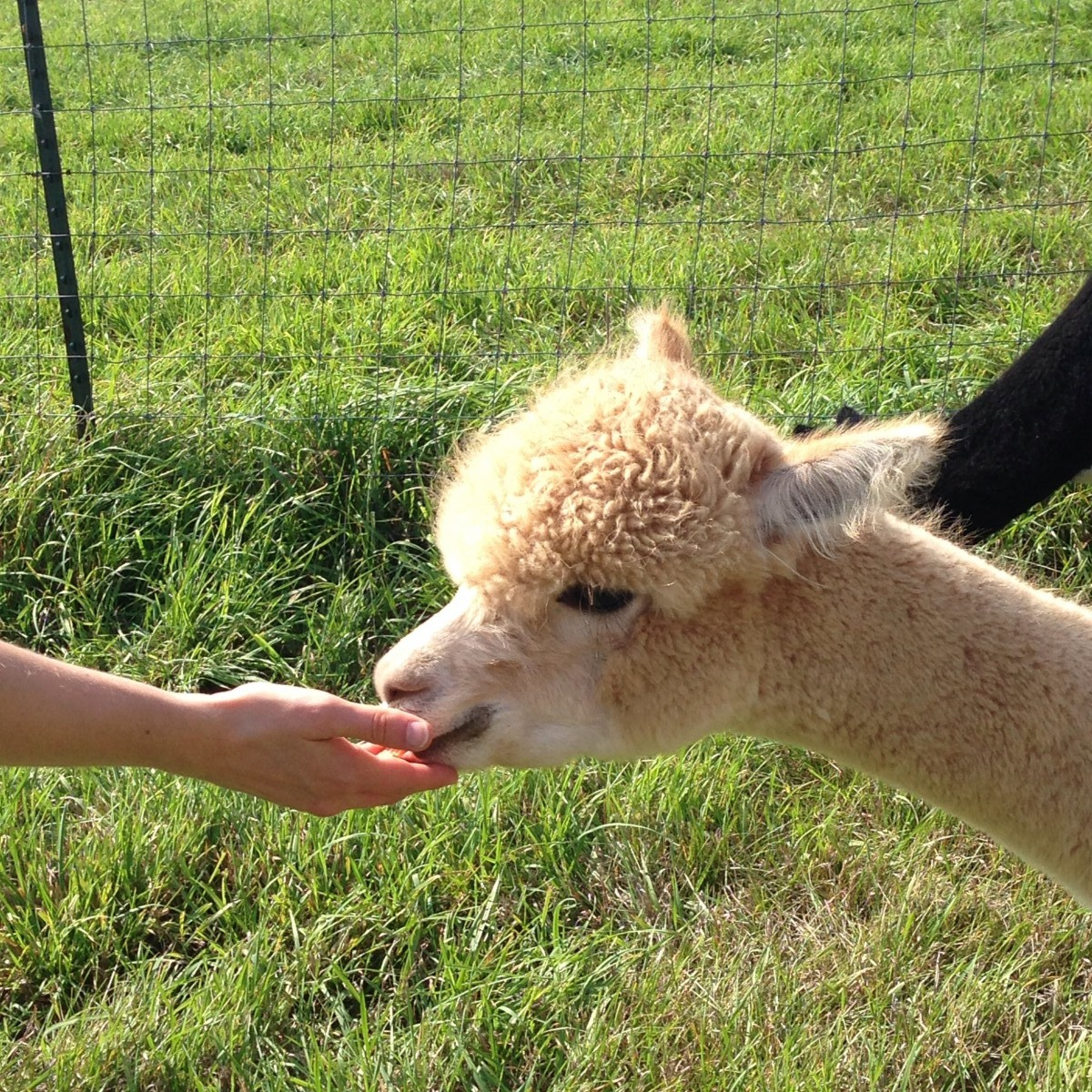 Alpaca Photo 2 Her Heartland Soul Erin Fairchild