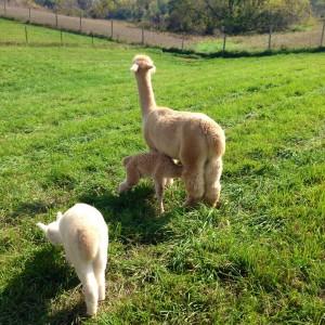 Nursing Alpaca 4 Erin Fairchild Her Heartland Soul